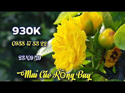 Bán 6 Cây Mai Cúc Rồng Bay 😊 930K/Cây 😊 0938 47 33 22😊 23/09/19