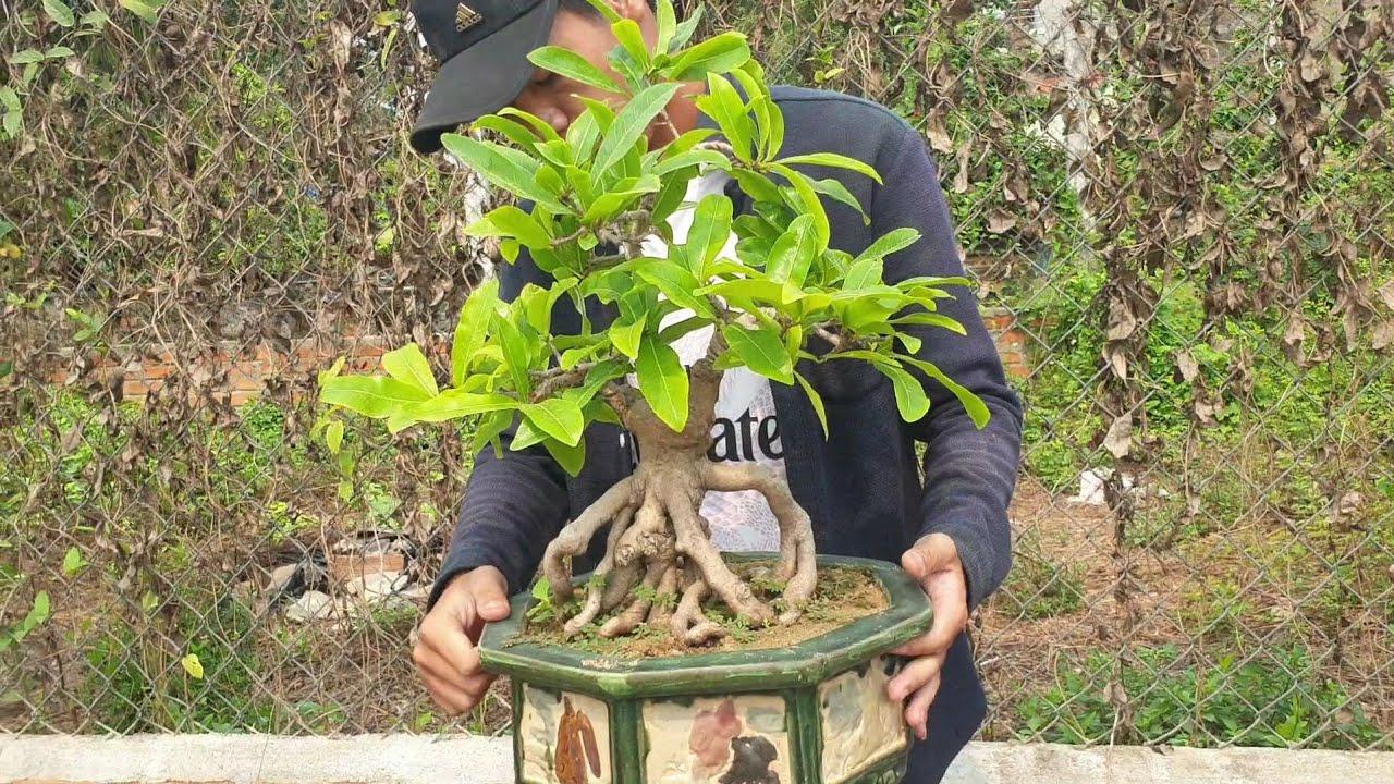 Báo giá cặp mai bonsai quái dị cà na ngày 7/4 (đã bán)