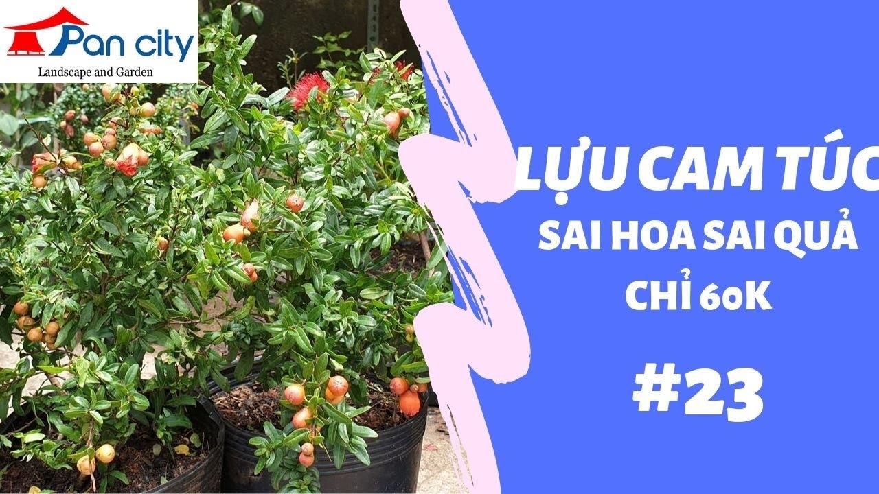 Bonsai Mini | #23 Lựu Cam Túc sai hoa sai quả chỉ 60k một cây.