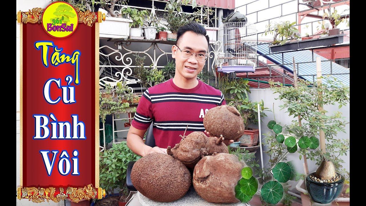 CỦ BÌNH VÔI Bonsai Việt Nam (Stephania Glabra), CỦ BÌNH VÔI Thái Lan (Stephania Erecta)