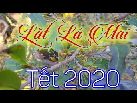 Cách Lặt Lá Mai Đón Tết 2020 🥰 11 Âm Lịch