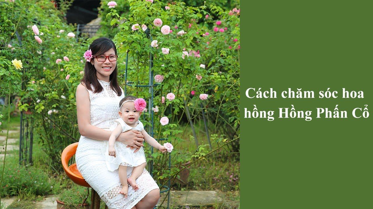 Cách chăm sóc hoa hồng Hồng Phấn cổ | Chăm sóc hoa hồng ra hoa to và đẹp
