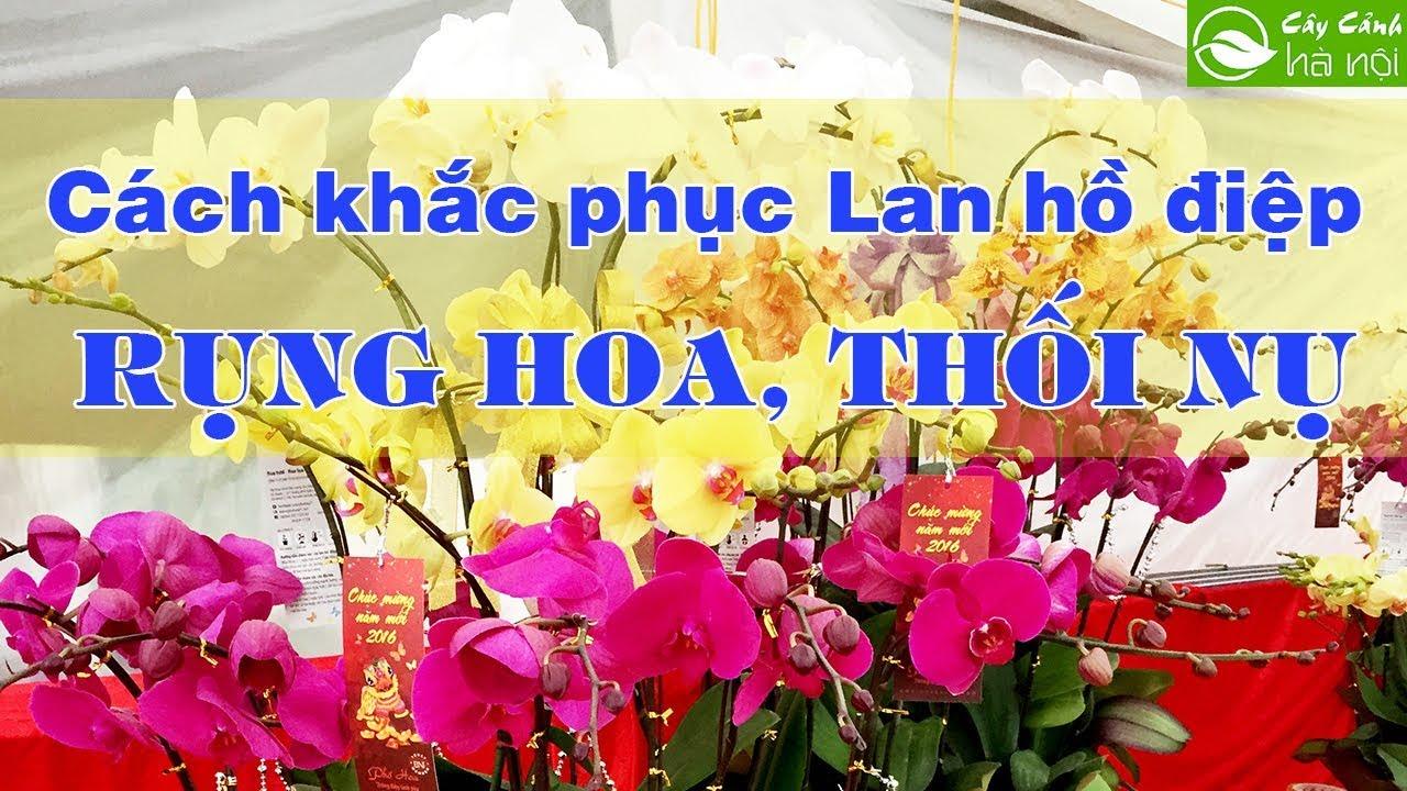 Cách khắc phục Lan Hồ điệp rụng hoa, thối nụ