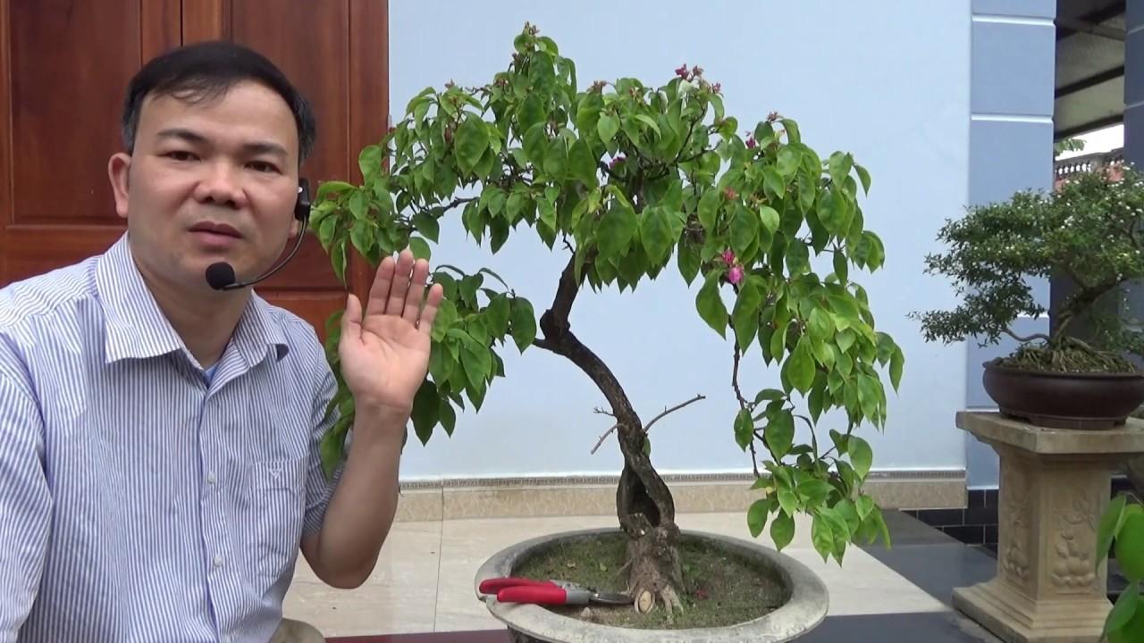 Cách làm cho cây hoa giấy nảy nhiều chi dăm - make a bougainvillaea grow more branches.