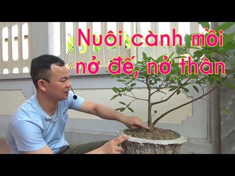 Cách nuôi cành mồi nở đế, nở thân cho bonsai