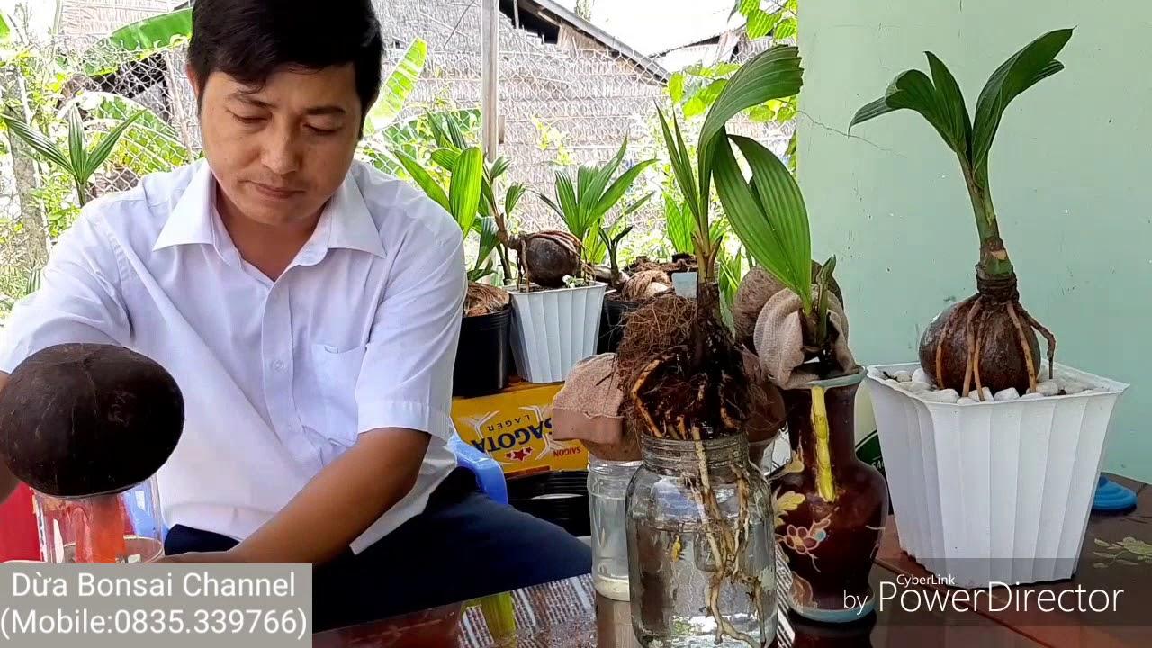 Cách trồng dừa kiểng có bộ rể phát triển nhanh /How to grow coconut bonsai with a fast-growing roots
