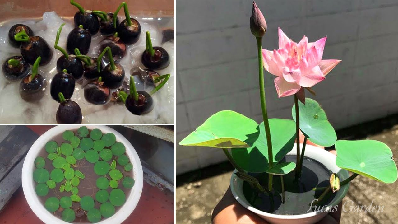 Cách trồng sen mini trong chậu chi tiết nhất - Trồng sen nhật mini