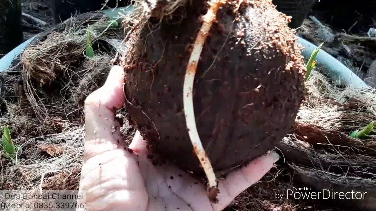 Cách ươm trái dừa khô thành bonsai dừa / Coconut bonsai