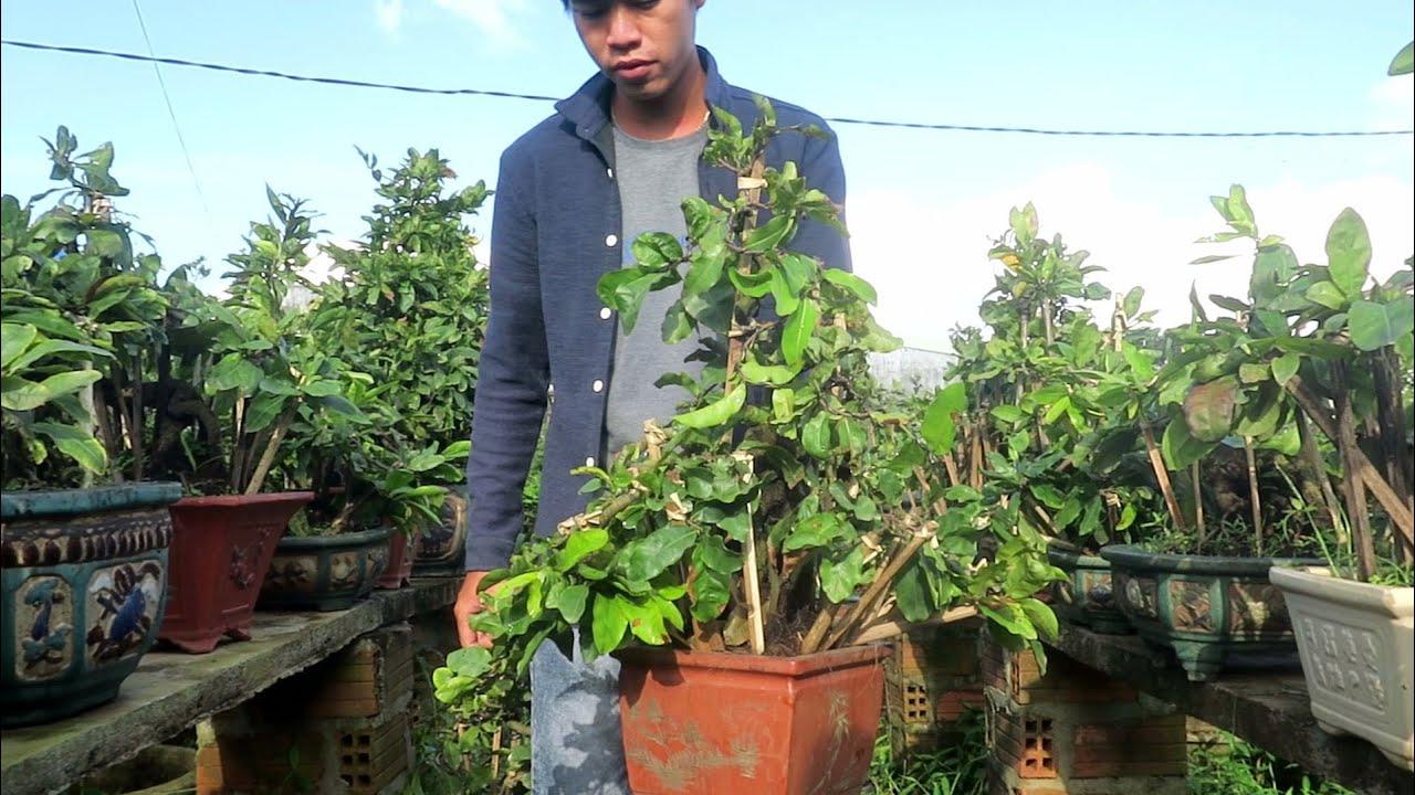 Cặp mai bonsai củ xù mini cúc Rồng bay,Hoàng hậu đồng giá 1.7tr (đã bán)