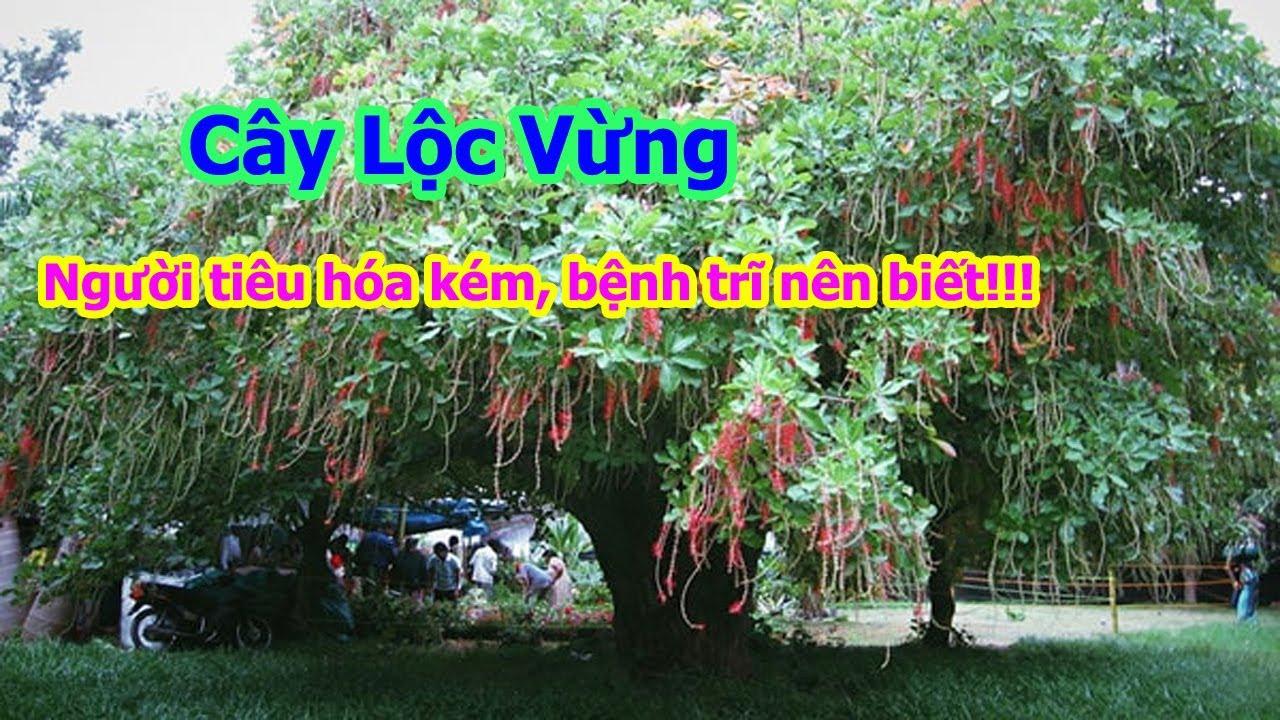 Cây Lộc Vừng - Cây Phong Thủy đẹp và rất tốt cho người bị các bệnh về tiêu hóa, đường ruột