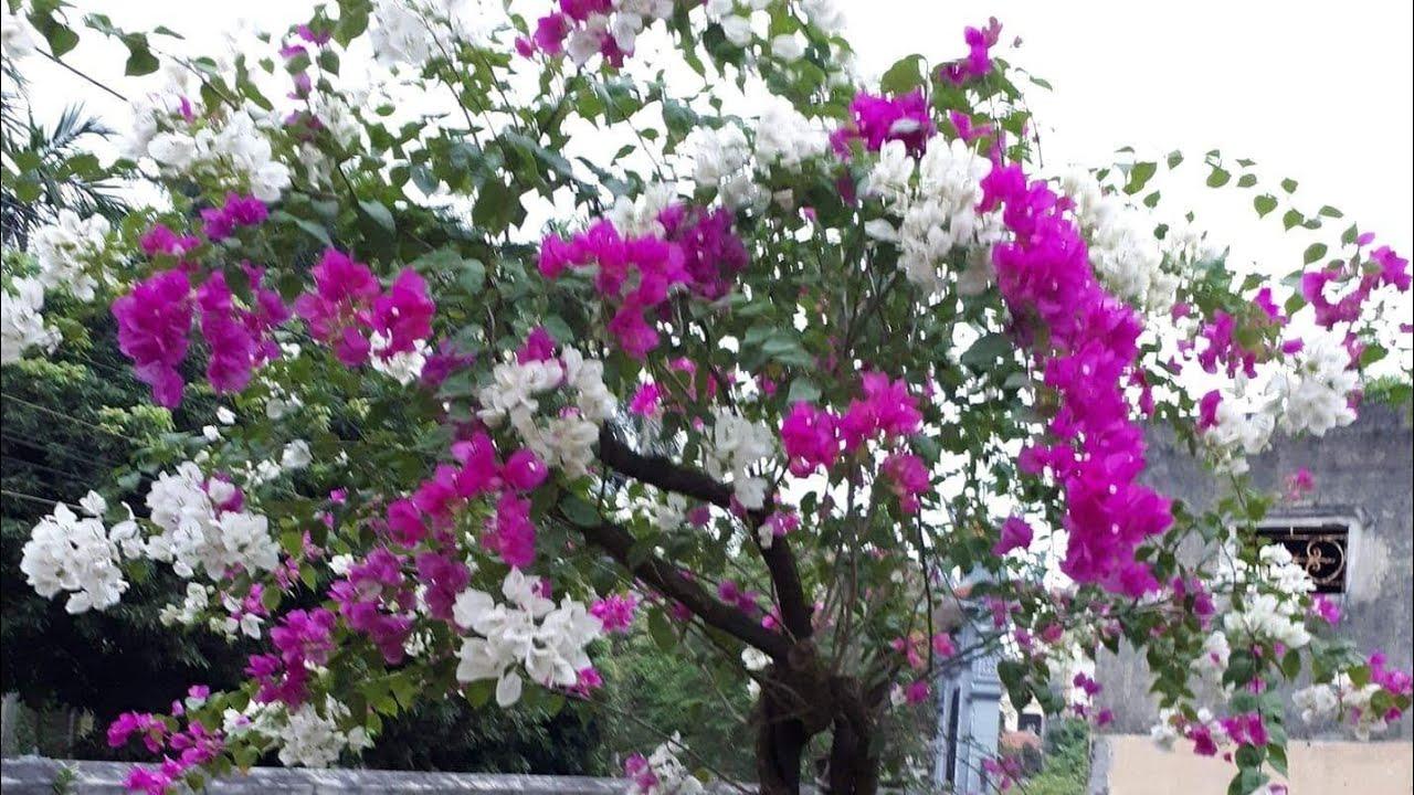 Chăm sóc cây hoa giấy ra hoa quanh năm
