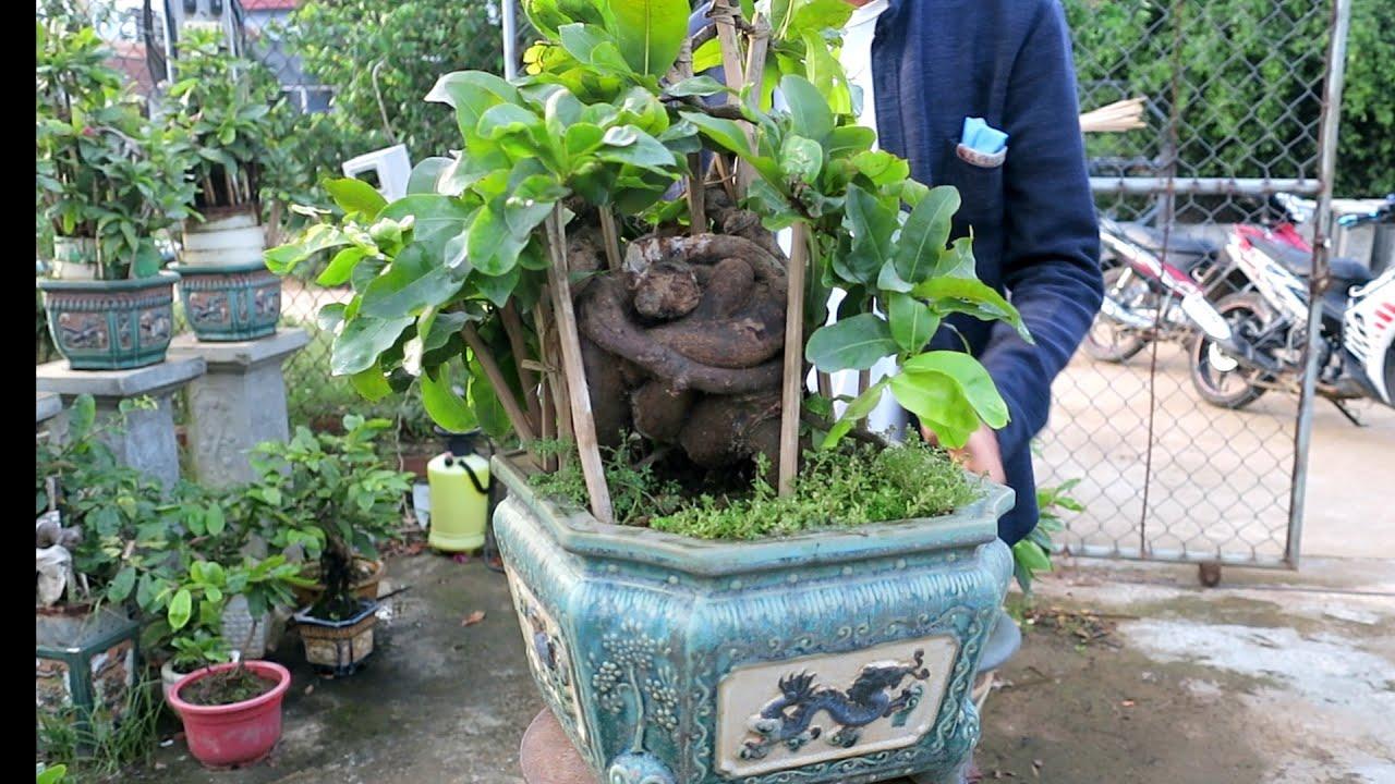 Chậu mai bonsai con ốc sên (0383938201)