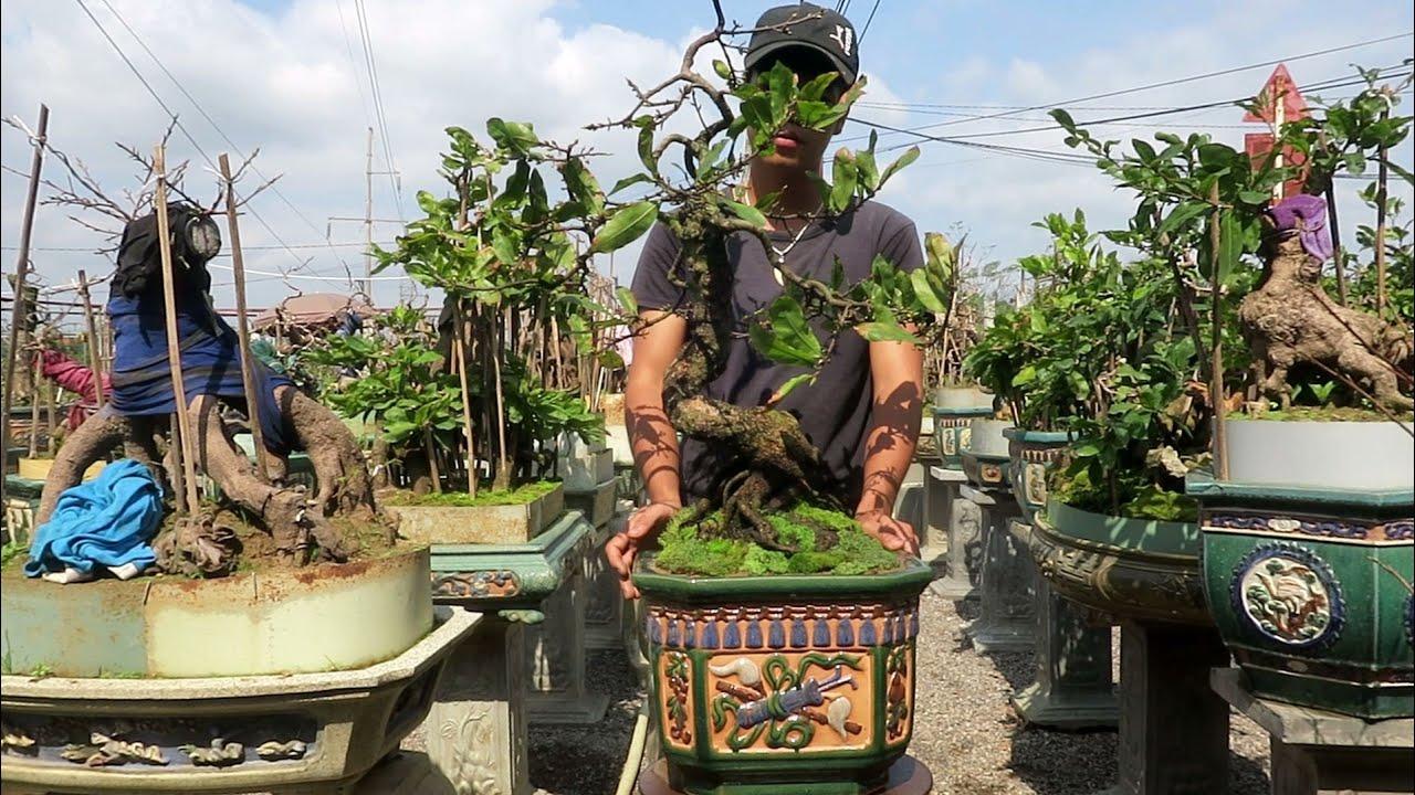 Chậu mai bonsai củ xù dáng lão (đã bán)