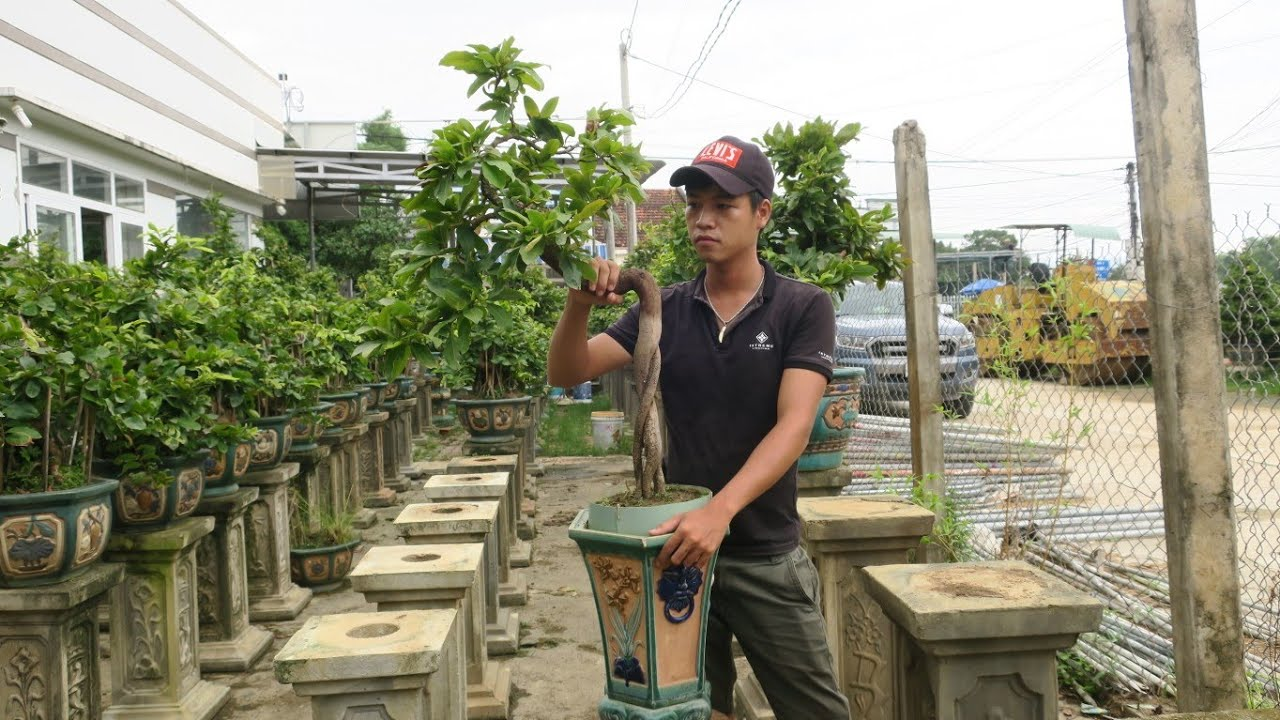 Chậu mai bonsai dáng cây gậy Trường Sơn hàng cực độc (0383938201)