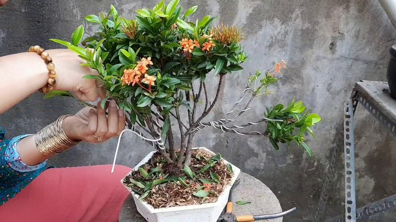 Chỉ có 35k đc cây trang cam bonsai mini đẹp