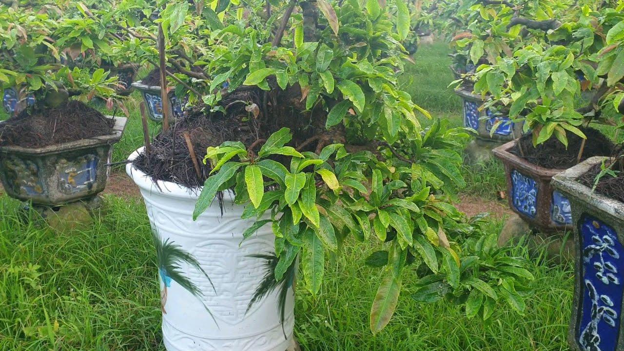 Chiêm ngưỡng vườn mai thác đổ rin trên 10 năm được trồng từ cây con cực chất