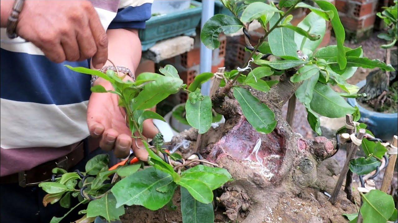 Chú Quý đi dây tạo dáng cho gốc mai bonsai