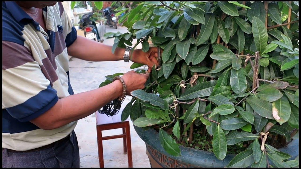 Chú Quý đi nọc chậu mai bonsai lớn