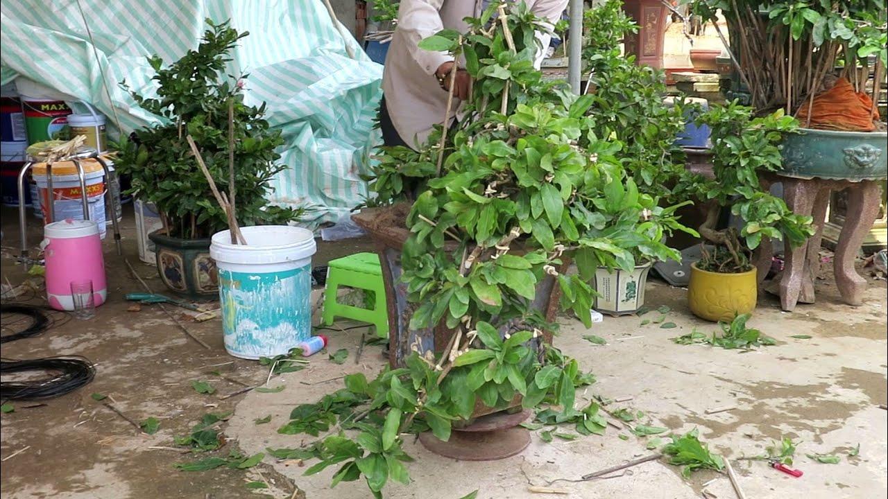 Chú Quý gl mai bonsai thác đổ cùng anh em (0383938201)