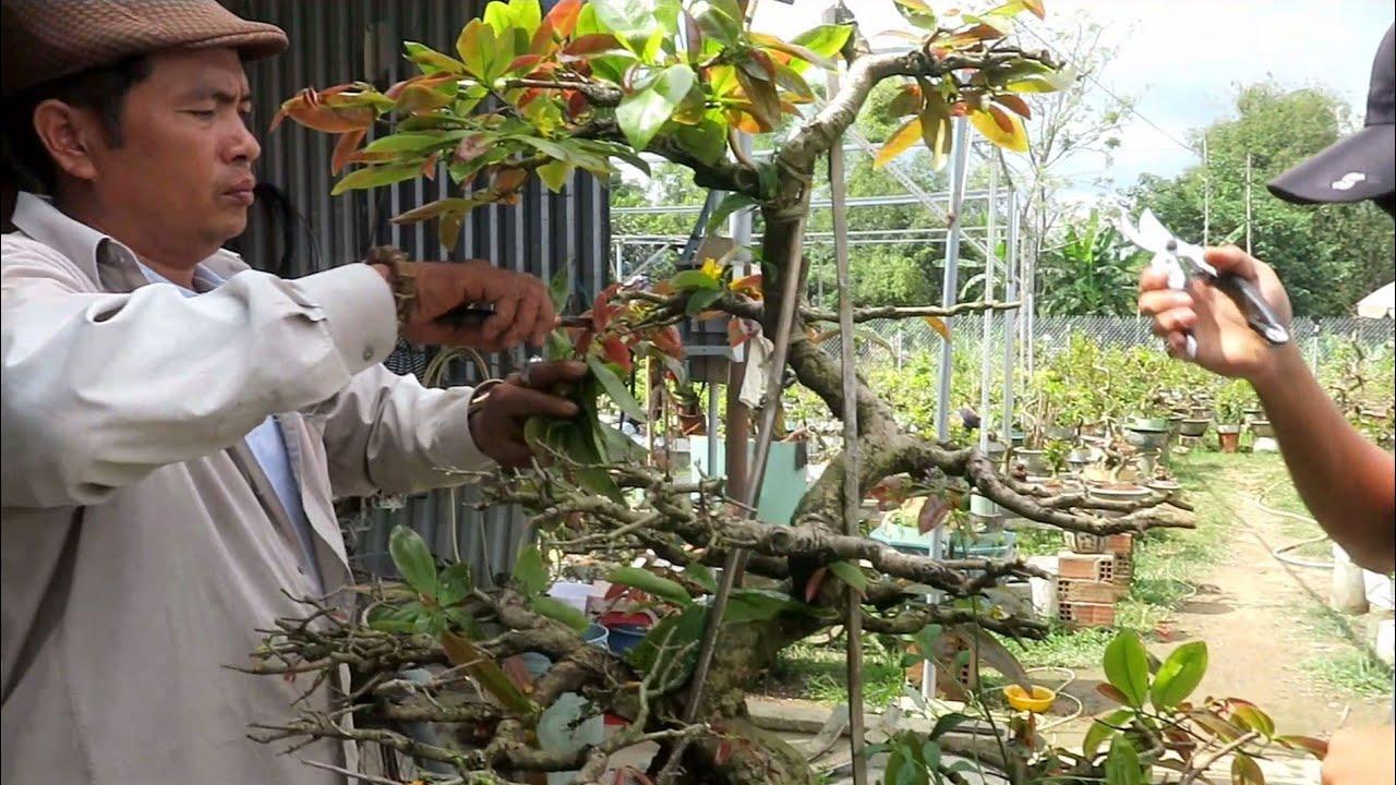 Chú Quý phá thế cây mai dáng long để làm mai bonsai lùn lực