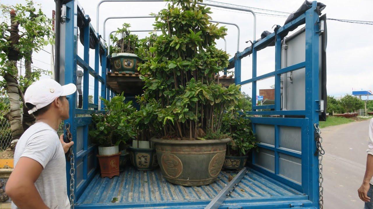 Cung cấp mai bonsai số lượng lớn cho anh em (0383938201)
