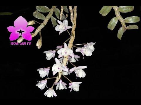 Đại Ý Thảo - Hạc Vĩ - Dendrobium aphyllum. Bạn theo trường phái nào? Nguyễn Ngọc Hà