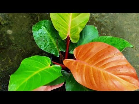 💗💗Đế vương đỏ, hàng cây đẹp nhe khách (75k) - Cây phong thủy