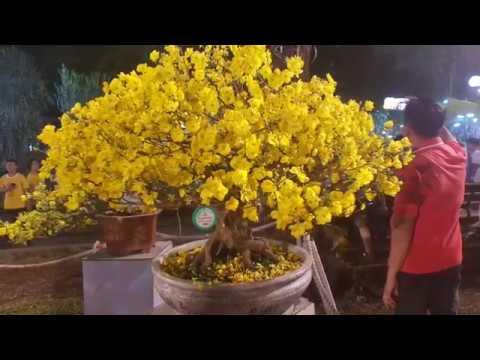 Ghép Thân Và Ghép Đọt Cho Cây Mai Tàng- Cải Thiện Hoa Sau 1-2 Năm Ghép 😀