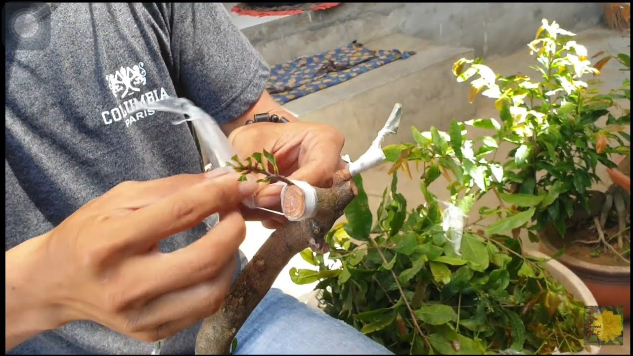 Ghép mai bonsai giống hoa mới (cúc 6 Hùng)