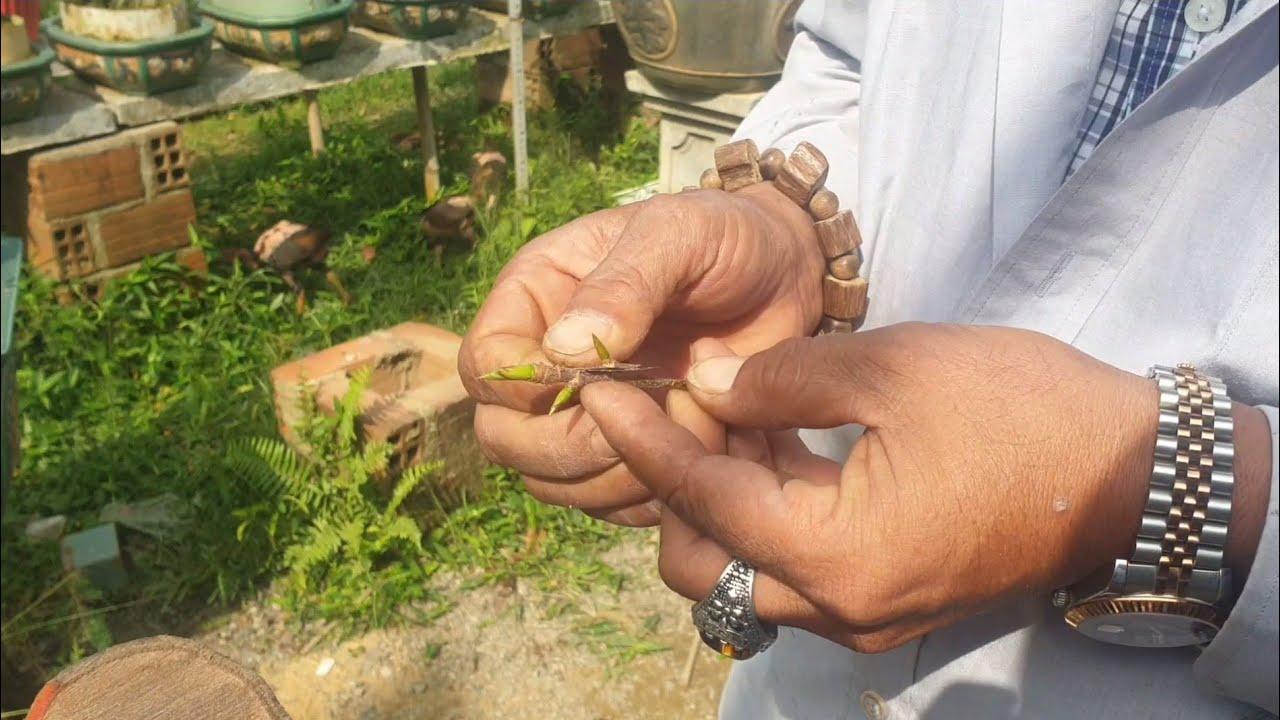 Ghép mầm và tỉa cành cho cây mai bonsai sau tết