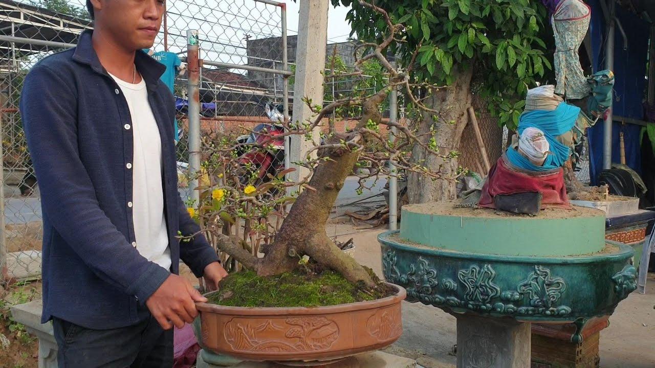 Giao lưu gốc mai bonsai khẩu đại bác 😂😂😂 giá 3.6triệu (đã bán)