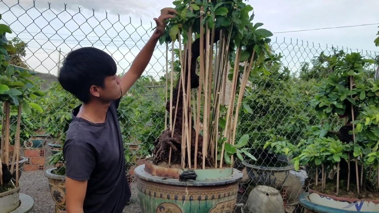 Giới thiệu cây mai bonsai dáng Văn Nhân giá 200tr