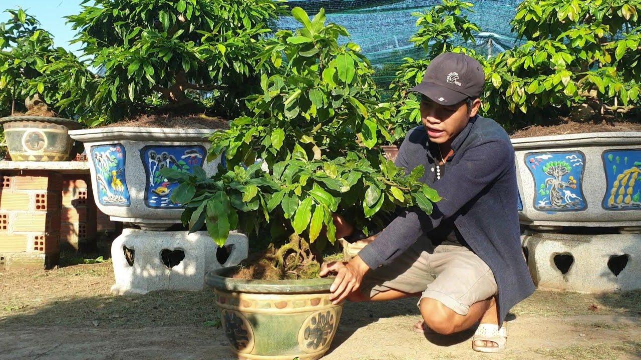 Giới thiệu chậu mai bonsai dáng trực lắc đế quái (đã bán)