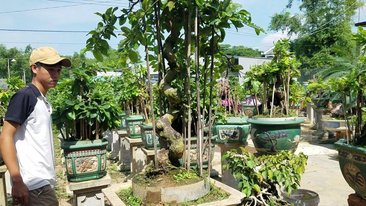 Giới thiệu vài gốc mai lớn vườn nhà mình (sđt+zalo 0383938201)