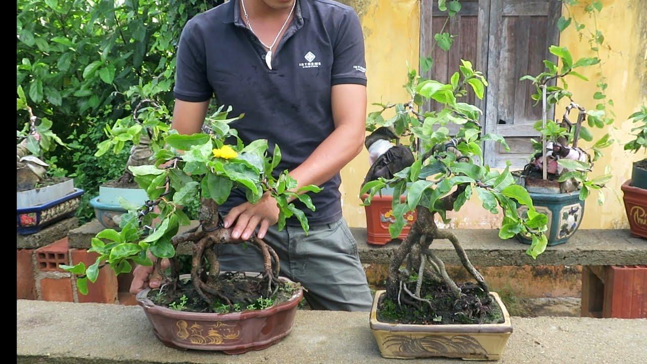 Gl 2 chậu mai bonsai giống rồng bay 🐉🐉🐉 (đã bán)