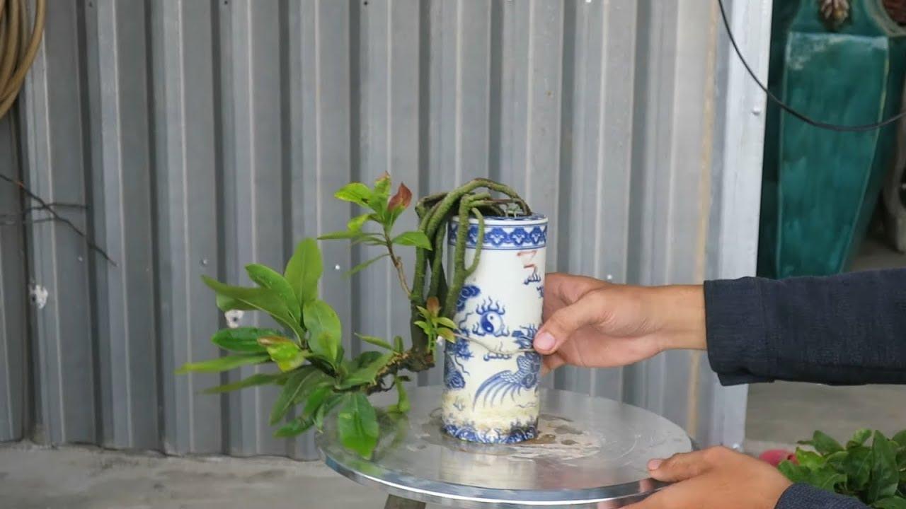 Gl 4 chậu mai bonsai mini đồng giá 400k (hết hàng)