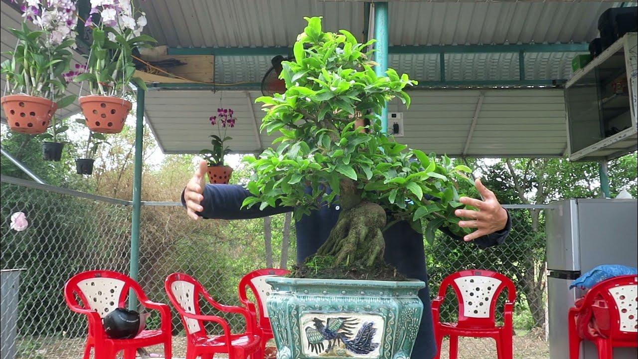 Gl Mai bonsai củ xù hàng tầm trung giá 14 triệu (đã bán)