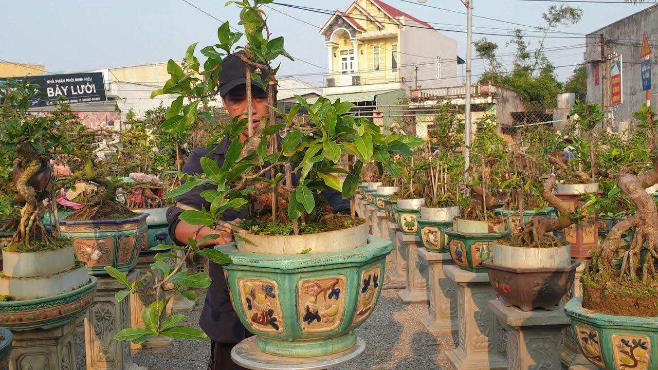 Gl Mai bonsai cúc 4Long C47(đã bán)