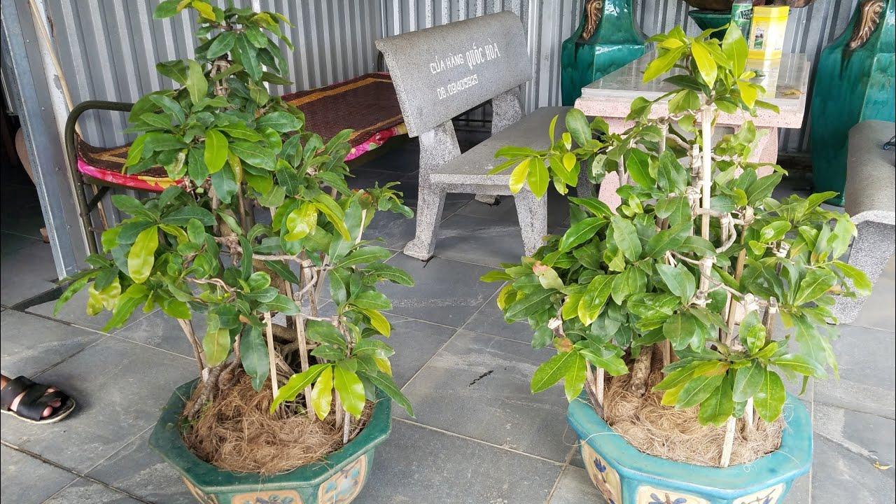 Gl cặp mai bonsai cúc 4 long ngày 4/7 (0383938201)