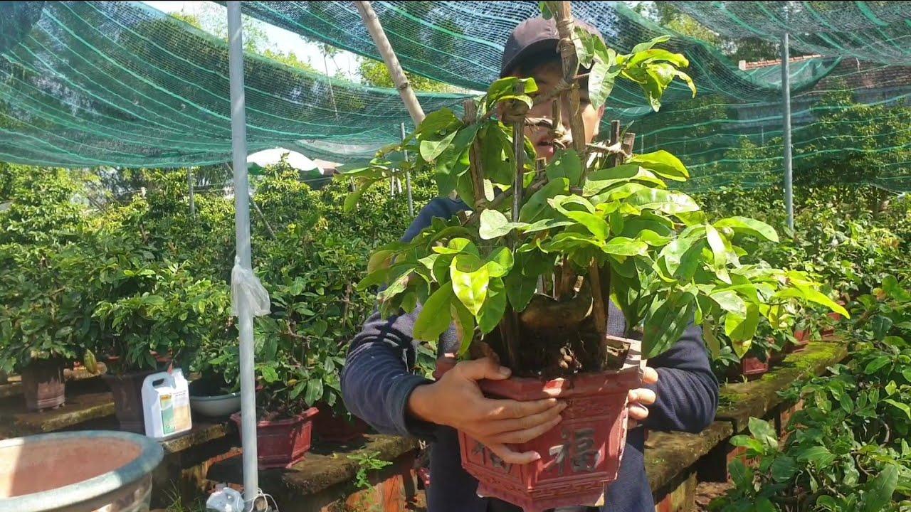 Gl cặp mai bonsai mini để bàn ngày 27/7 (đã bán)