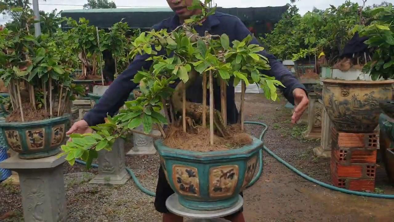 Gl chậu mai bonsai củ xù cúc Hoàng Hậu giá 3.6tr (đã bán)
