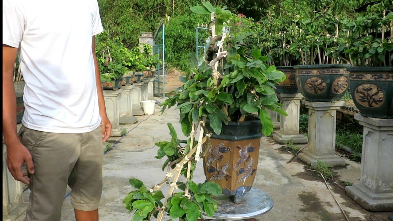 Gl chậu mai bonsai thác đổ giống hoàng hậu giá 3triệu (đã bán)
