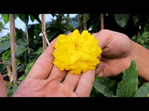 Gl chậu mai dáng long củ xù Cúc rin mặt bông to đẹp hàng 15 năm (0383938201)
