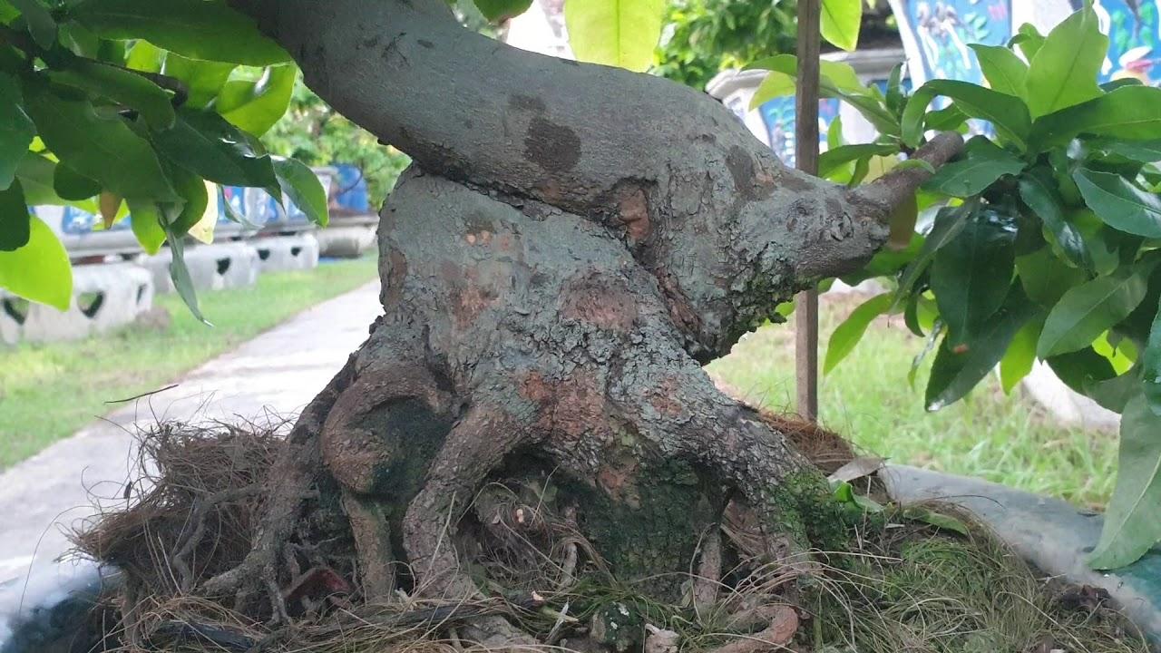 Gl củ mai bonsai ốc sên (đã bán)