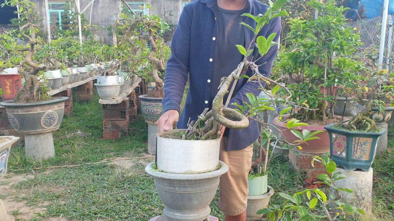 Gl lô mai bonsai chân dài (đã bán hết)