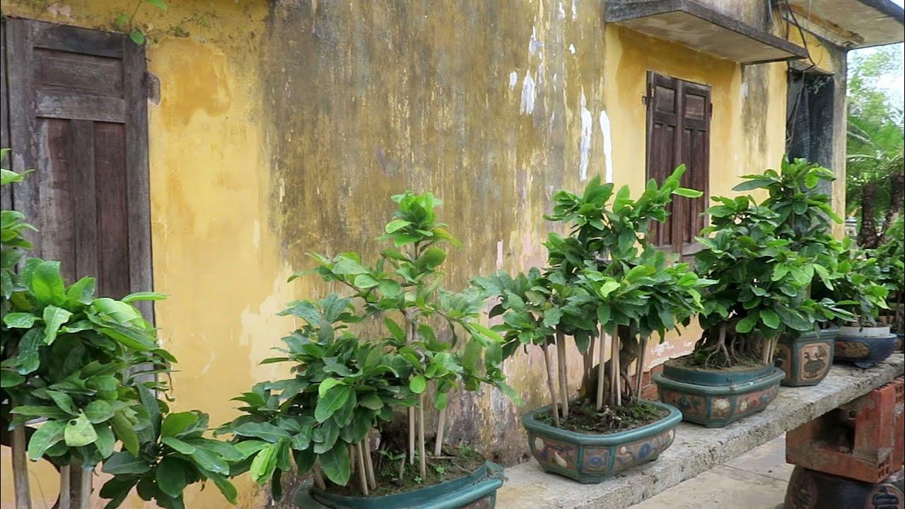 Gl lô mai bonsai đồng giá 1.9tr(0383938201) đã bán số 1,6