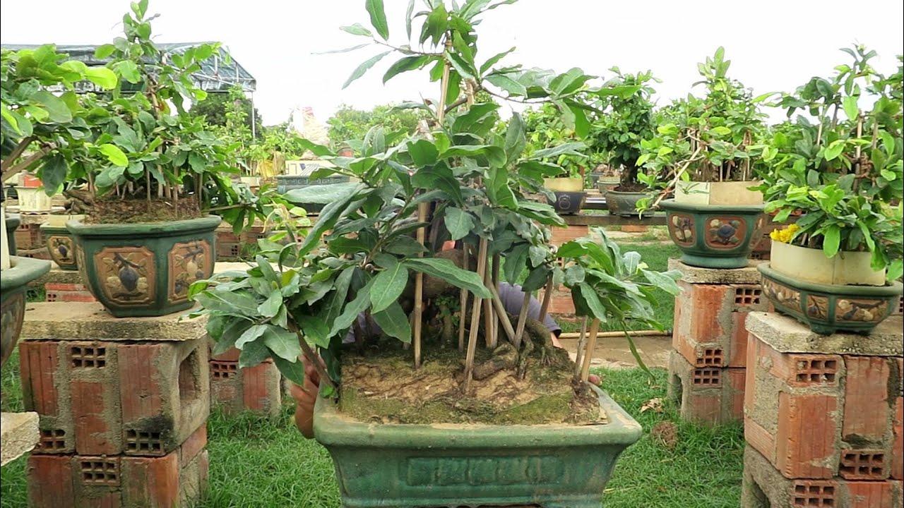 Gl mai bonsai củ xù giống giảo gai giá 7 triệu (đã bán)
