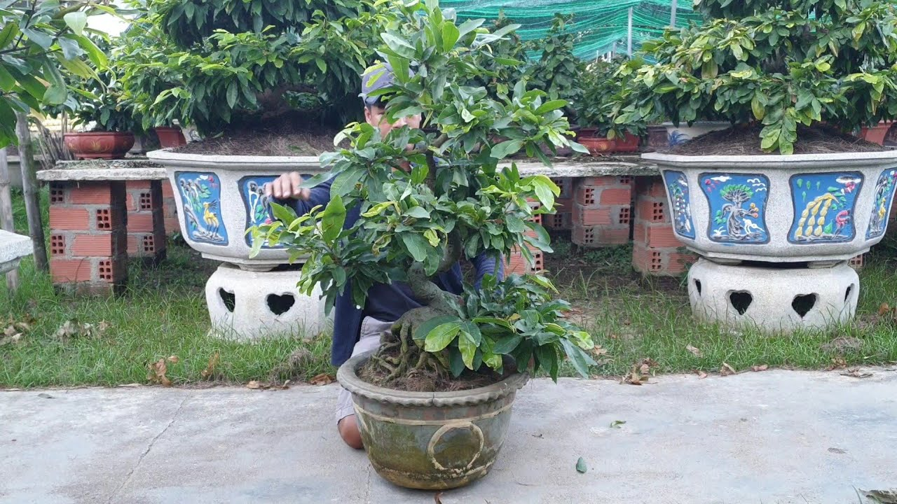 Gl mai bonsai củ xù lùn lực (0383938201)