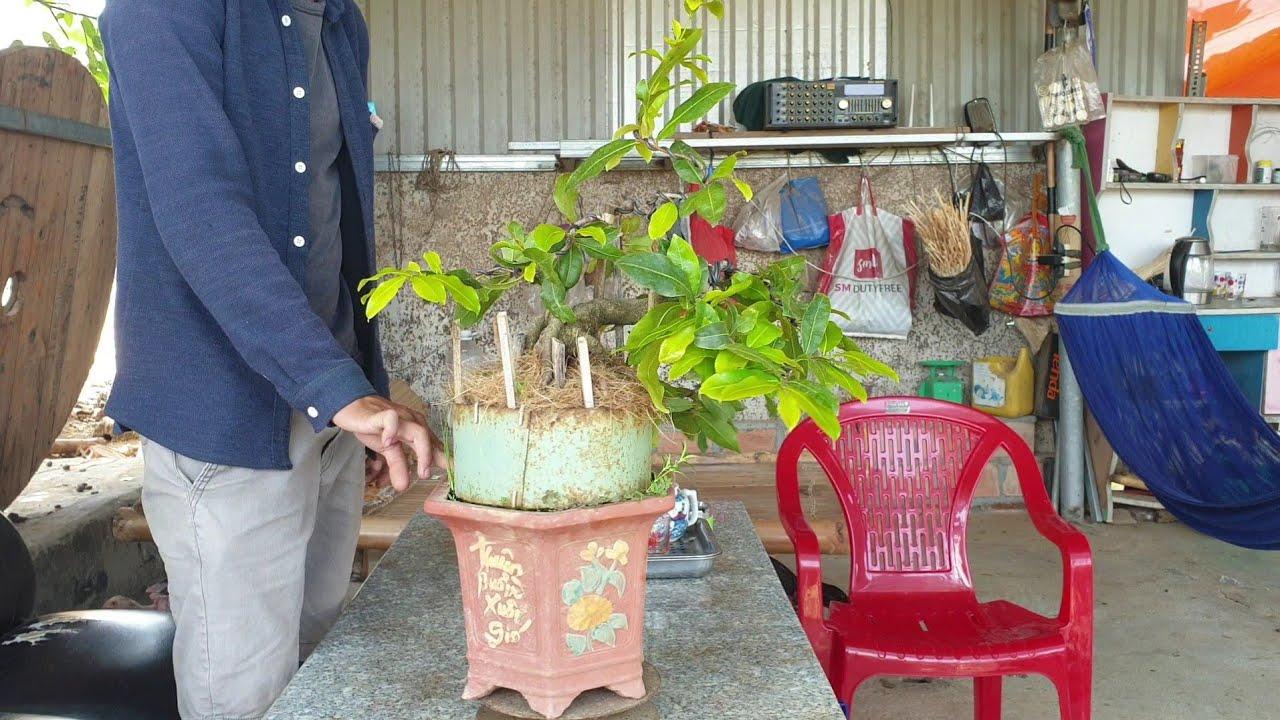 Gl mai bonsai cúc 4 Long chân đế nôm dáng đổ giá 2.2tr(đã bán)