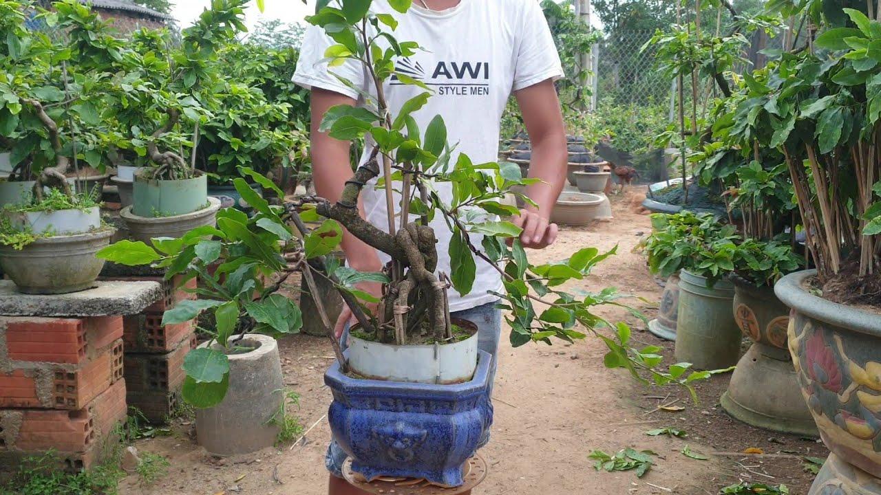 Gl mai bonsai cúc 4 Long đế nôm phom mini để bàn (0383938201)
